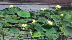Swamp lilies breeze sound Stock Footage
