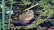 Stock Video Footage of bullfrog