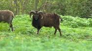 Scottish Soay sheep and Ram 02 Stock Footage