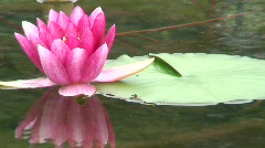 Red water lily (Nymphaea) 11 Stock Footage