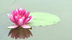 Red water lily (Nymphaea) 15 Stock Footage