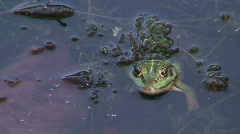 Jumping and disappearing frog 1 Stock Footage