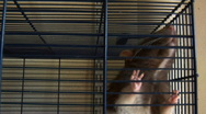 Rats in a cage Stock Footage