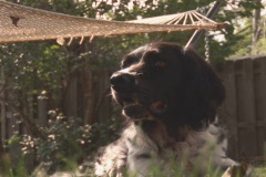 NTSC dog under hammock Stock Footage