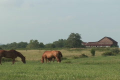 NTSC: Horses in an American pasture - wide - stock footage