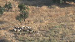 Jordan: Sheep Herding Stock Footage