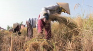 Stock Video Footage of Vietnam: Rice Harvesting