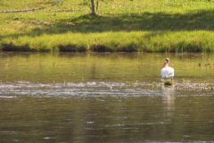NTSC: Pelican swims away Stock Footage