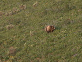 NTSC: Mother grizzly with cubs Stock Footage