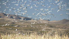 HDV: Sky Full of Snow Geese - stock footage