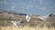 HDV: Sky Full of Snow Geese Stock Footage