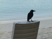 Stock Video Footage of Crow