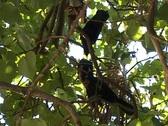 Stock Video Footage of Maldivian Crows