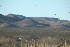 NTSC: Birds at Bosque del Apache Stock Footage