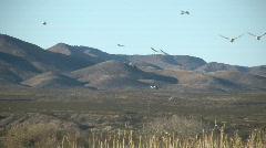 HDV: Birds at Bosque del Apache Stock Footage
