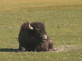 Stock Video Footage of NTSC: Bison ruminating - zoom out
