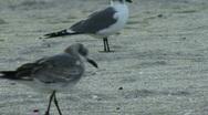 Seagull Walking 01 Stock Footage