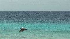 Pelican hunting Stock Footage