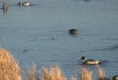 NTSC: Northern Pintail Ducks Stock Footage