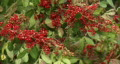 Red Berries  Footage