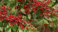 Red Berries  Stock Footage