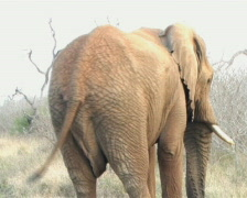 A wild elephant cleans and eats roots. Stock Footage