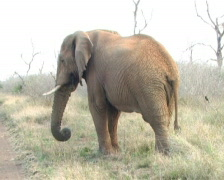 Wild elephant foraging while walking, w/zoom. Stock Footage