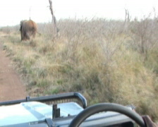 Offroad vehicle approaches elephant on dirt road, w/audio. Stock Footage