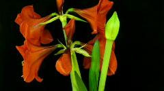 Amaryllis flower blooming timelapse 7 Stock Footage