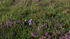 Bellflower and heather Stock Footage