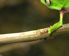 White lined monkey frog Phyllomedusa vaillanti Stock Footage