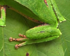 White lined monkey frog Phyllomedusa vaillantii Stock Footage