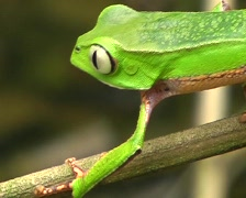 White lined monkey frog Phyllomedusa vaillantii Stock Footage