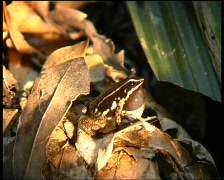 Spotted thighed poison frog (Allobates femoralis) Stock Footage
