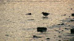 Redshank 1 Stock Footage