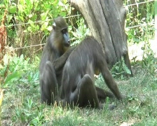 Mandrils at the zoo Stock Footage