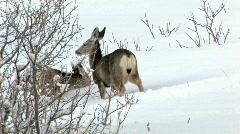 Deer mule three in snow on hillside HD Stock Footage