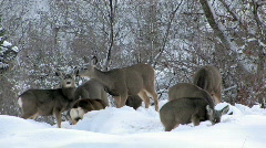 Mule Deer in deep snow HD Stock Footage