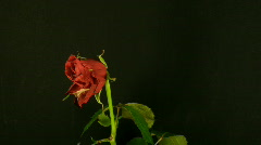 Time-lapse of dying red rose 2 Stock Footage