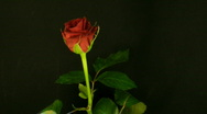 Stock Video Footage of Time-lapse of dying red rose 2