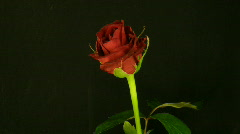 Time-lapse of dying red rose 3 Stock Footage