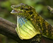 Cloudforest anole (Anolis gemmosus) Stock Footage