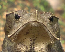 Crested forest toad (Rhinella margaritifer) Stock Footage