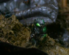 Tropical scarab beetles on dung Stock Footage