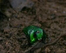 Tropical scarab beetle Stock Footage