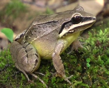 Amazonian white lipped jungle frog (Leptodactylus mystaceus) Stock Footage