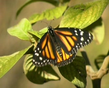 Monarch butterfly (Danaus plexippus) Stock Footage