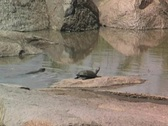 Stock Video Footage of Lizard swimming in waterhole