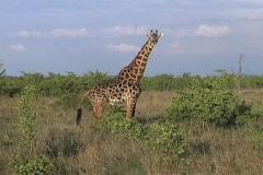 Masai Giraffe Stock Footage
