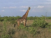 Stock Video Footage of Masai Giraffe